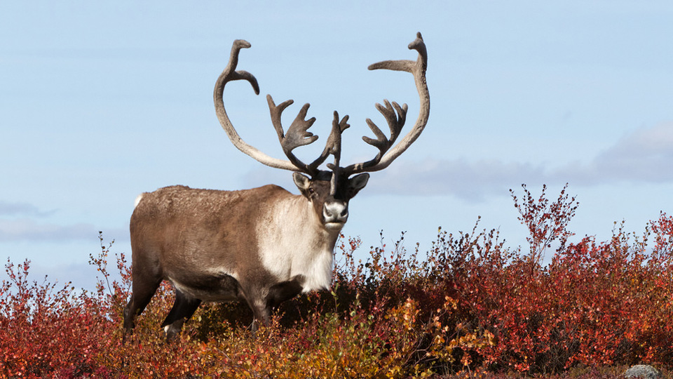 Arctic Canada caribou on Autumn tundra
