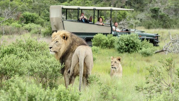 Lion and lioness in Sibuya Game Reserve, South Africa