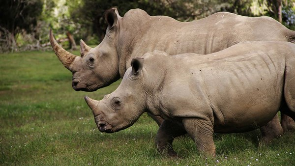 Southern white rhinos in Sibuya Game Reserve, South Africa