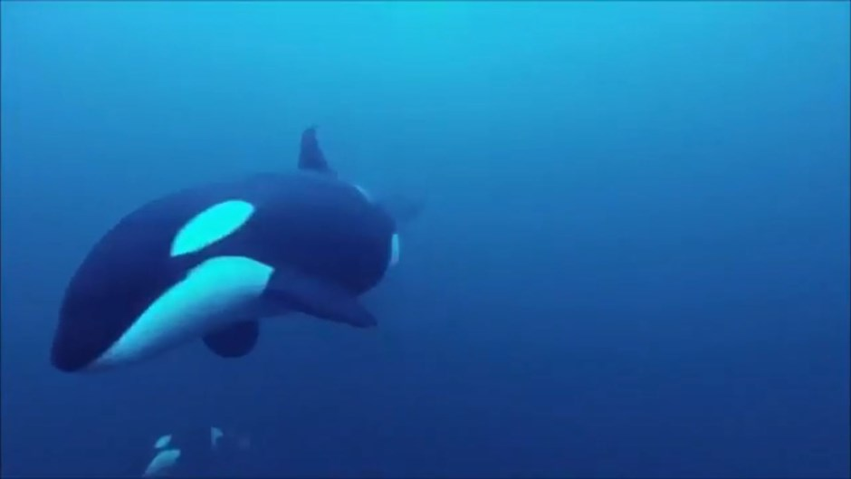 Swimming with Killer Whales in Norway