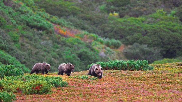Brown Bears, J E Ross
