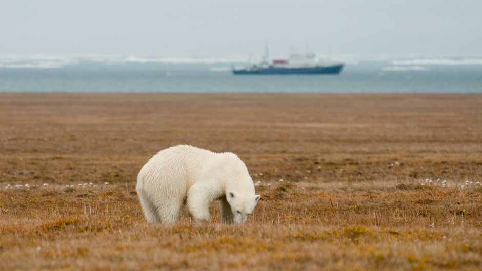 Polar bear on Wrangel Island, Russia, Heritage Expeditions