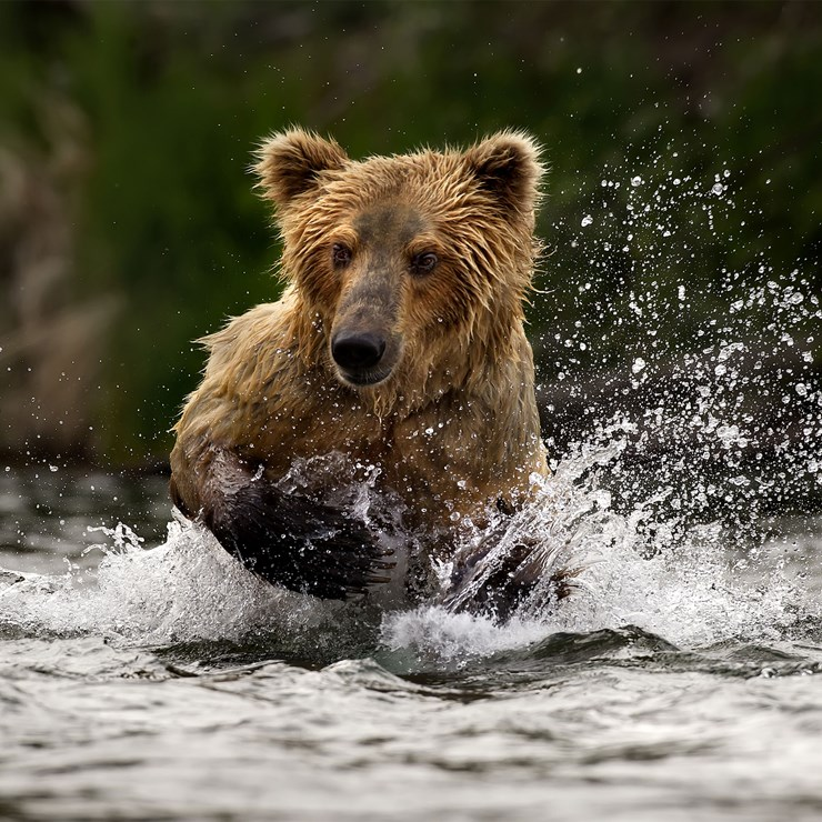 Grizzly bear in the water, Alaska