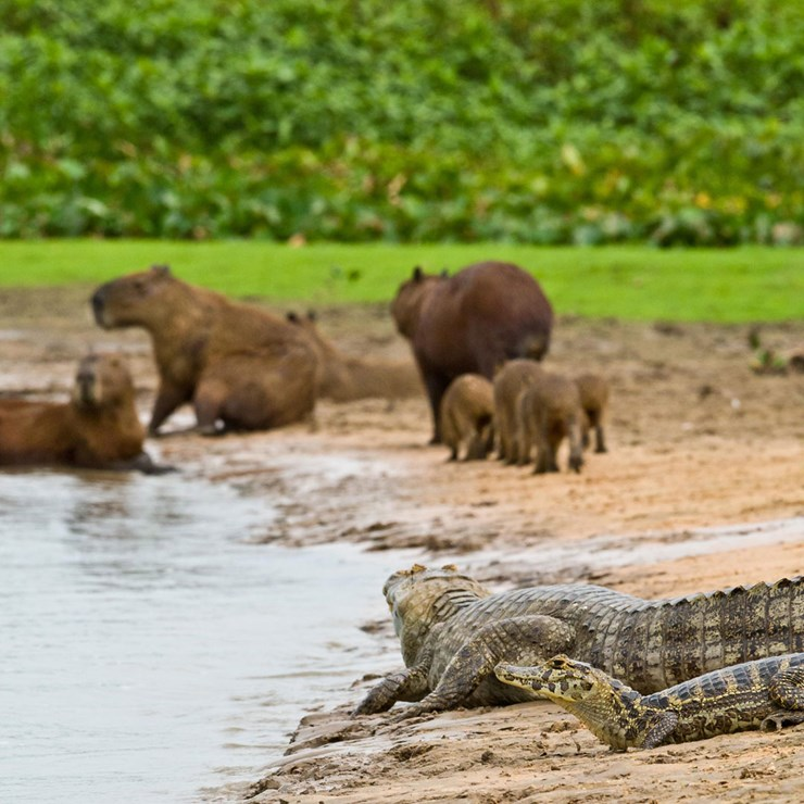 Caiman and Capybara, Brazil