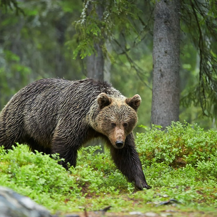 Grizzly in the forest, Canada