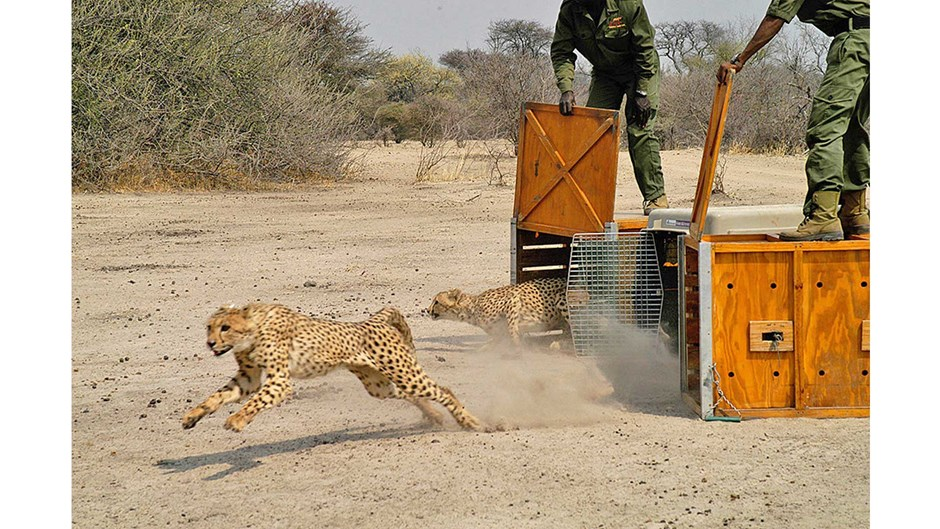 Captive cheetahs being released, Courtesy of Cheetah Conservation Fund