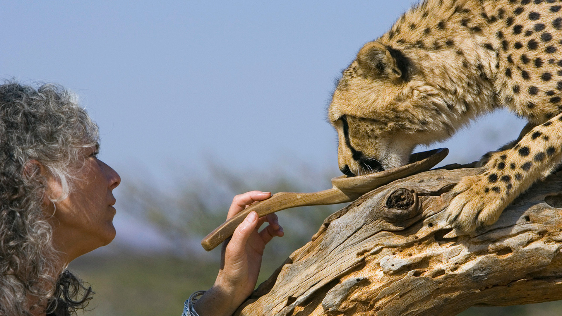 Dr. Laurie Marker feeding an orphaned cheetah, Suzi Eszterhas/Courtesy of Cheetah Conservation Fund