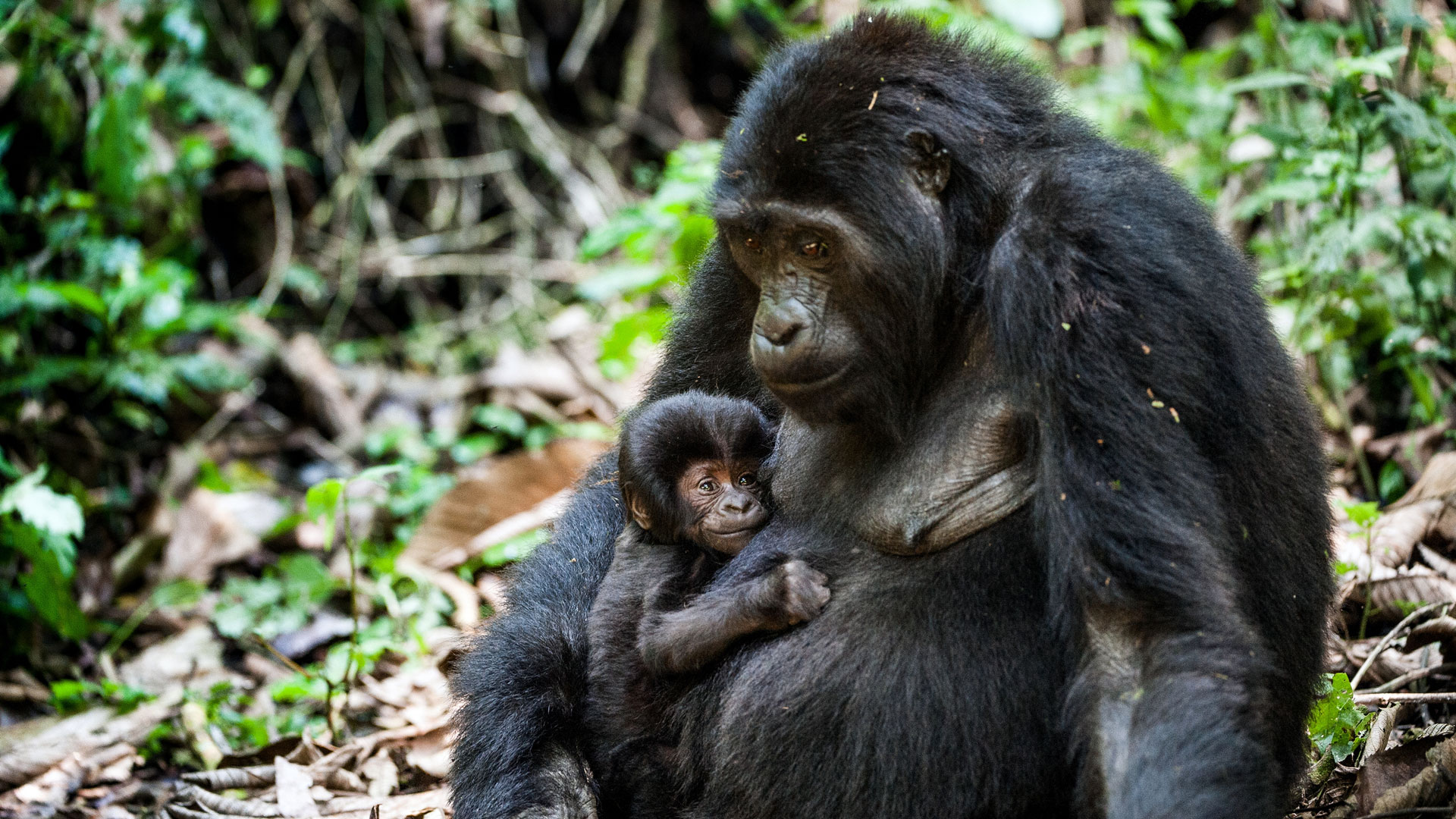 Uganda Mountain Gorilla With Baby