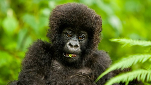 Rwanda Mountain Gorilla - photography tips