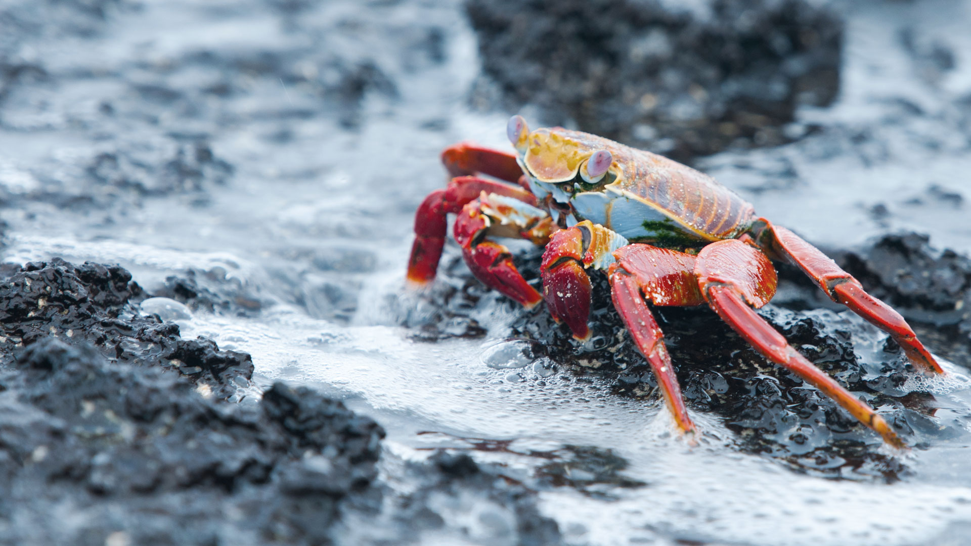 Galapagos Family Trip - Will Bolsover - Sally Lightfoot Crab