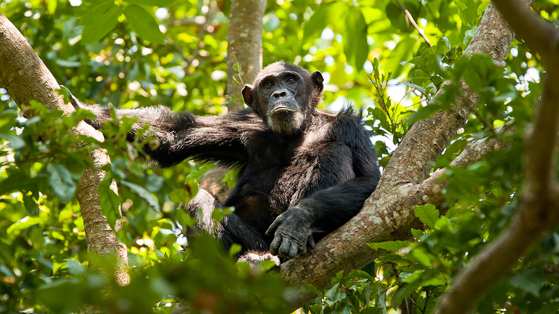 Chimpanzee by Richard Denyer