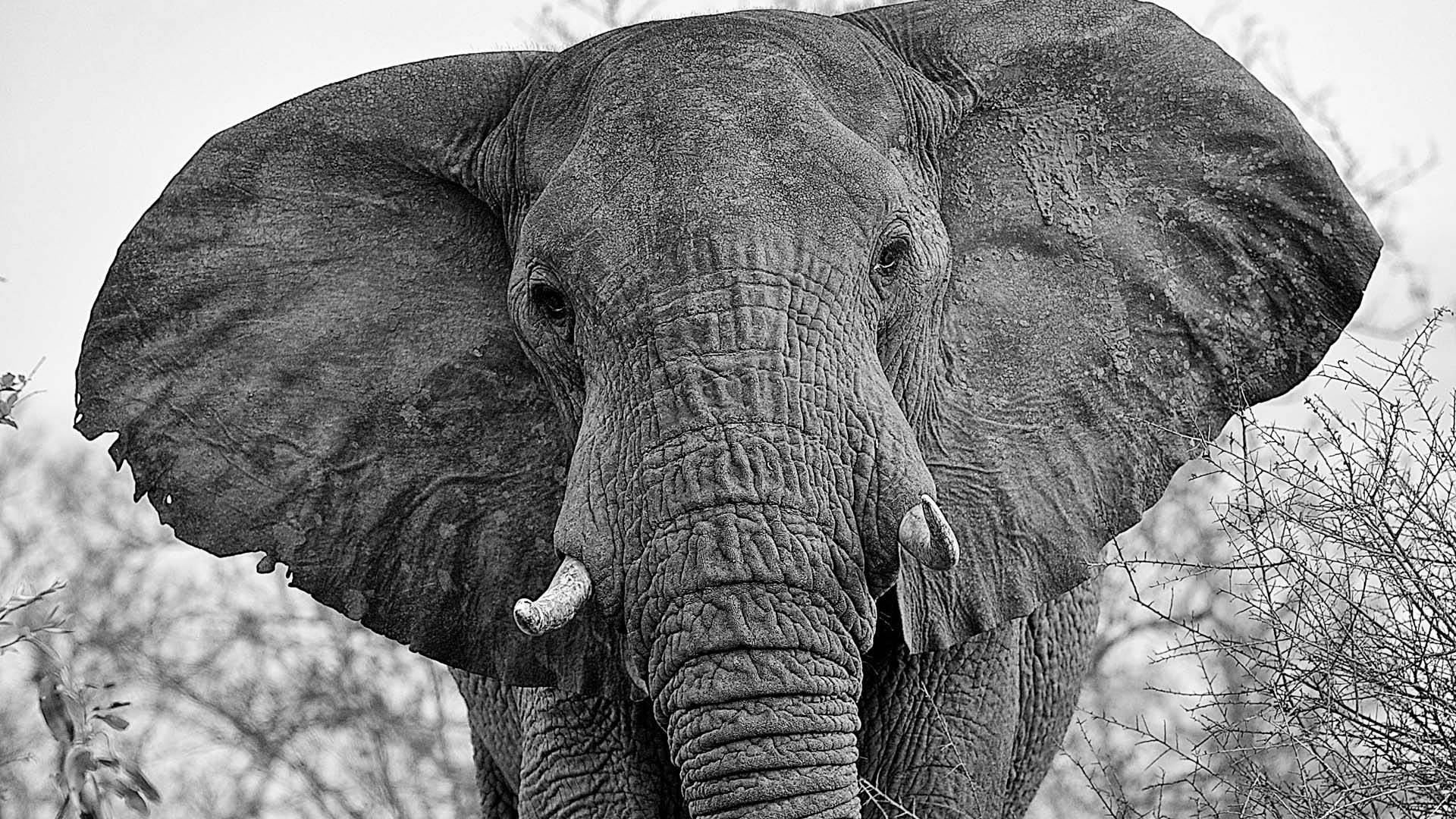 Elephant by Shannon Wild