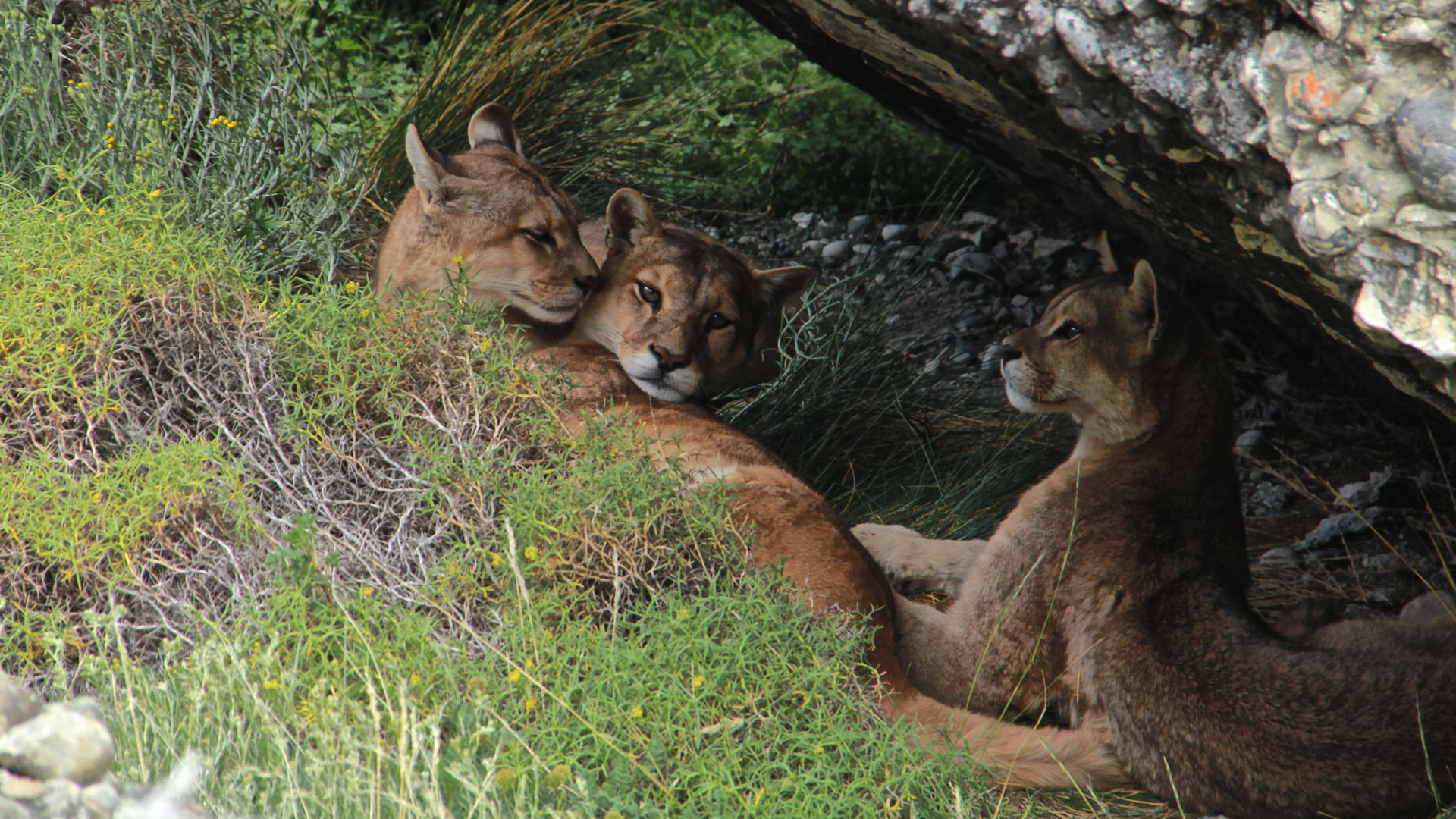 Chile - puma family in Patagonia