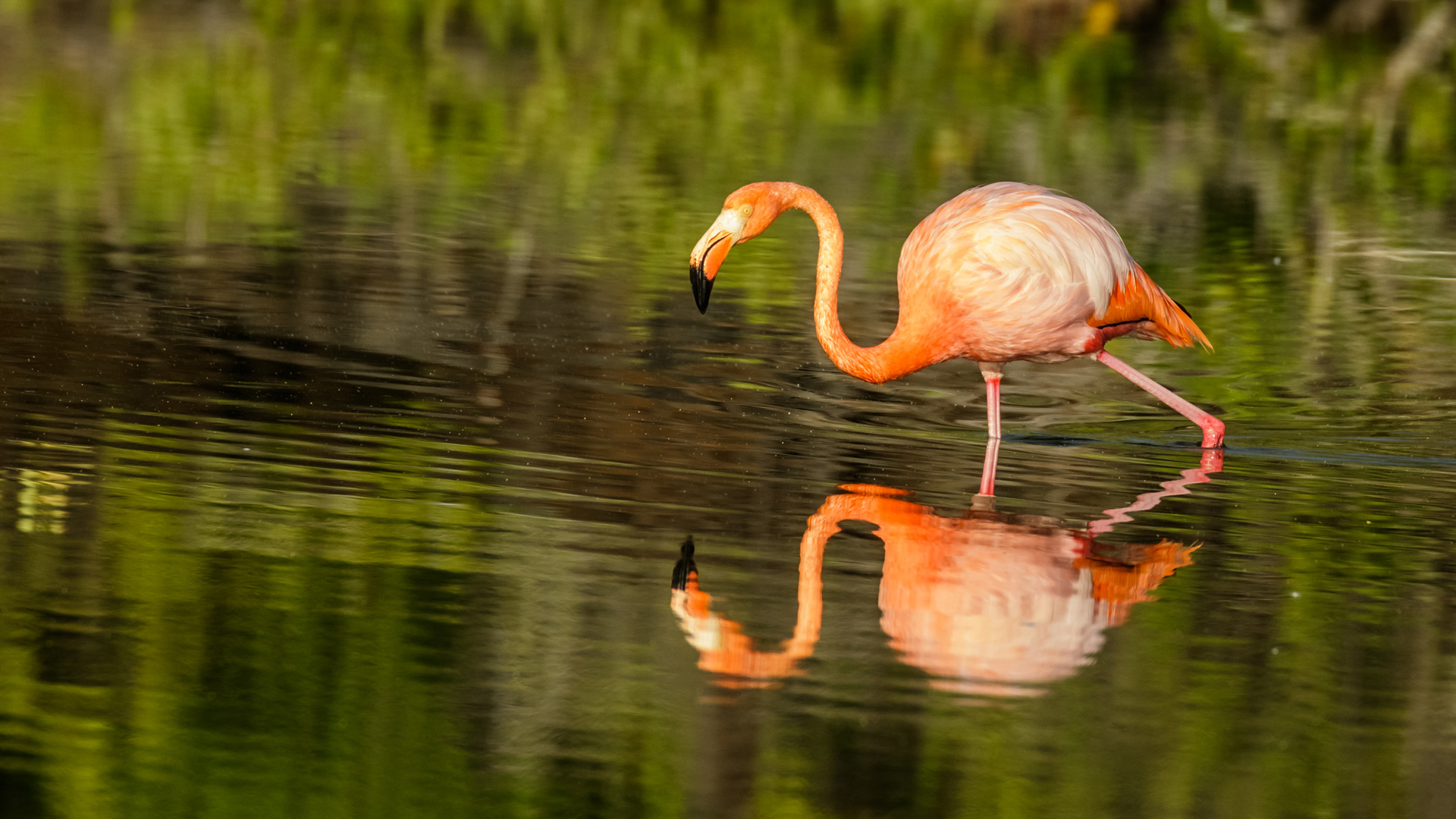 Galapagos by Caron Steele - Flamingo