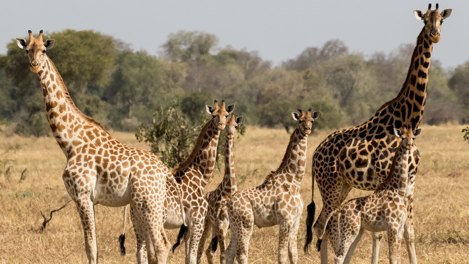 Chad Will Bolsover Giraffe Family 1
