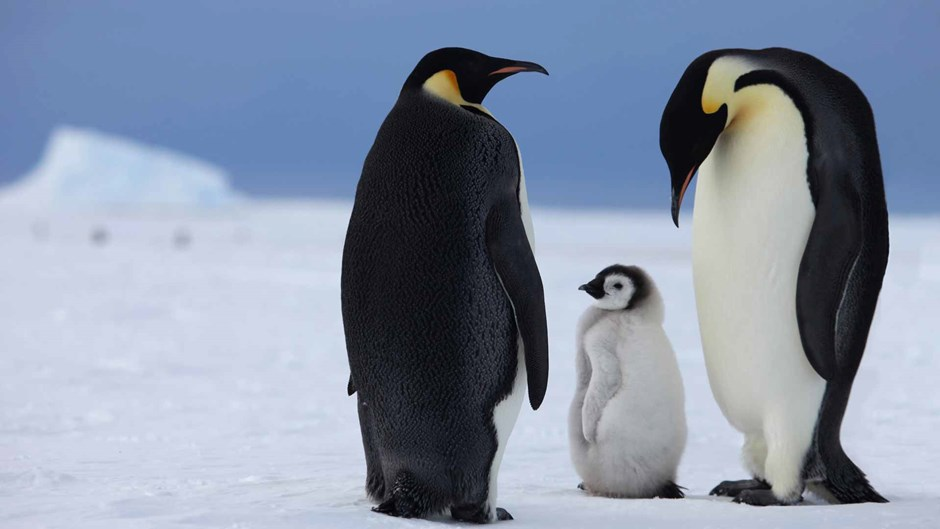Antarctic safari;  emperor penguins