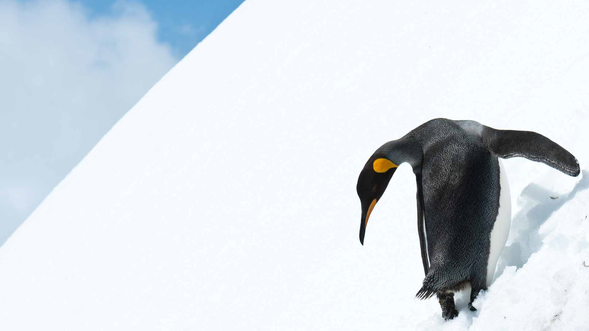Antarctic safari; king penguin