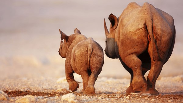 Black rhino mother and calf, Namibia