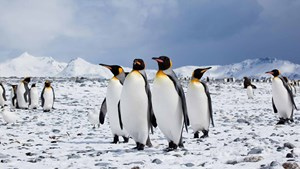 Antarctica wildlife: king penguins