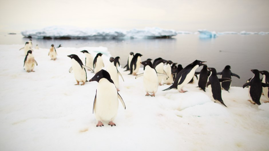 Antarctica Ross Sea Explorer; Penguins