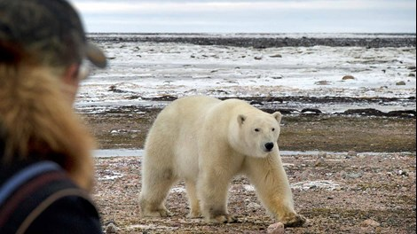 Walking with polar bears