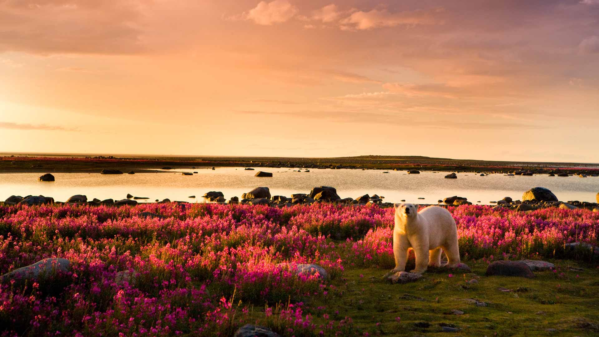 Polar bear in summer, Arctic Canada safari