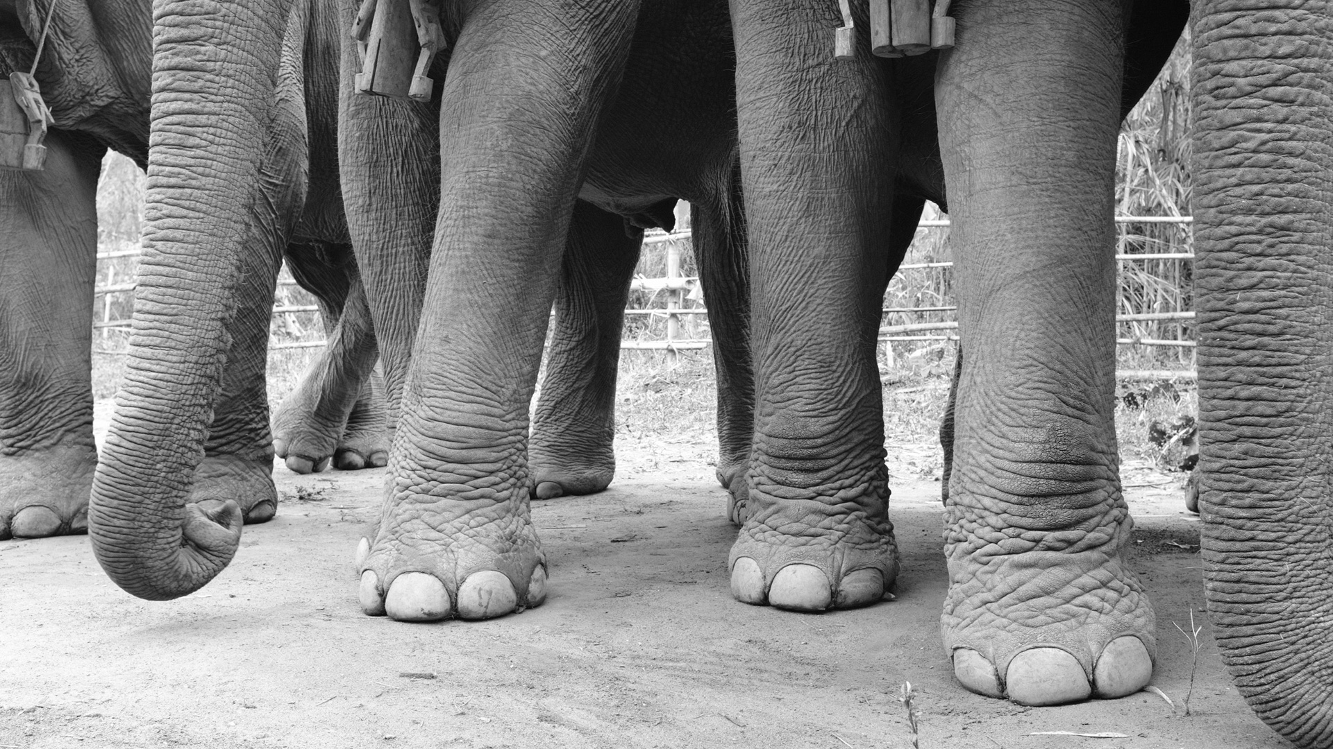 Asian elephants, Myanmar | © Charlie Scott