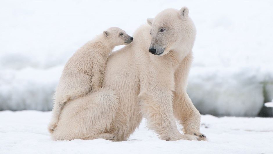 Polar bear cubs, Arctic