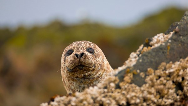 Harbour seal, Kamchatka | © J E Ross, Heritage Expeditions