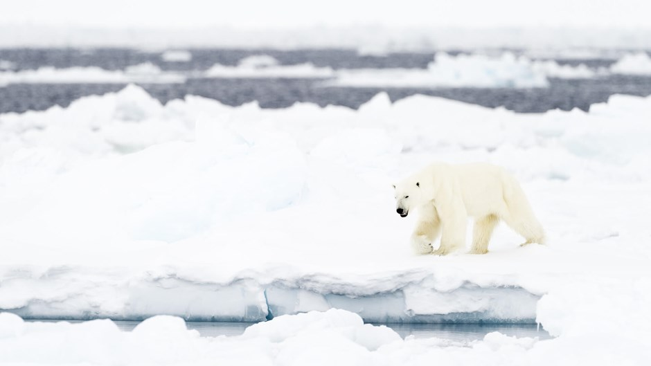 Polar bear at floe edge, Arctic Canada