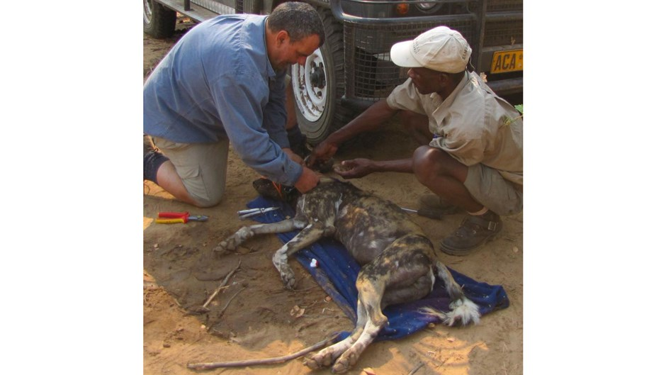 Dr Greg Rasmussen administering care to a tranquilised painted dog