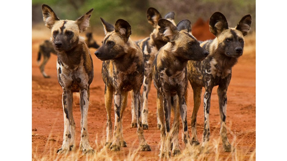 Painted dogs, South Africa