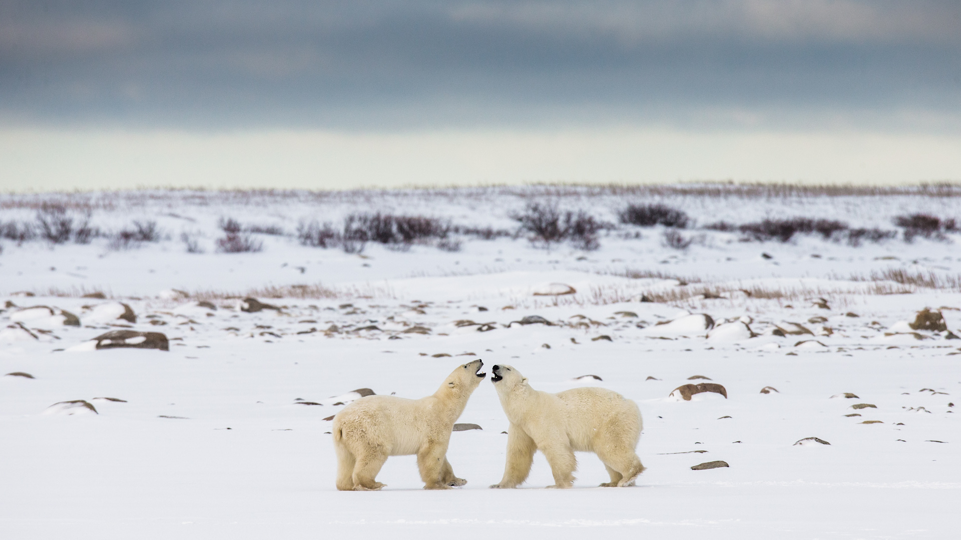 Polar bears on tundra, Arctic Canada