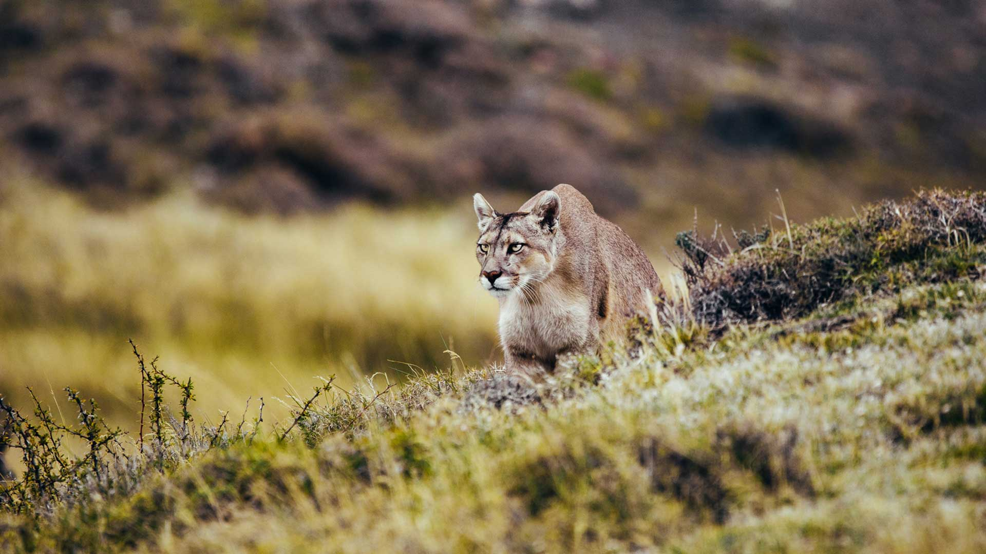 Puma in Chilean Patagonia | © Pie Aerts