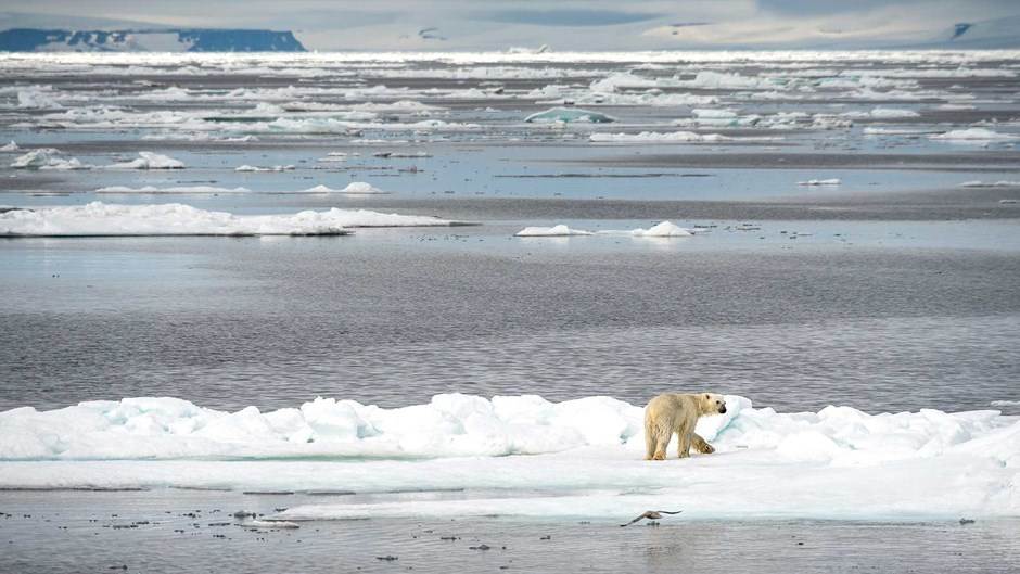 Polar bear, Franz Josef Land | © Anthony Smith