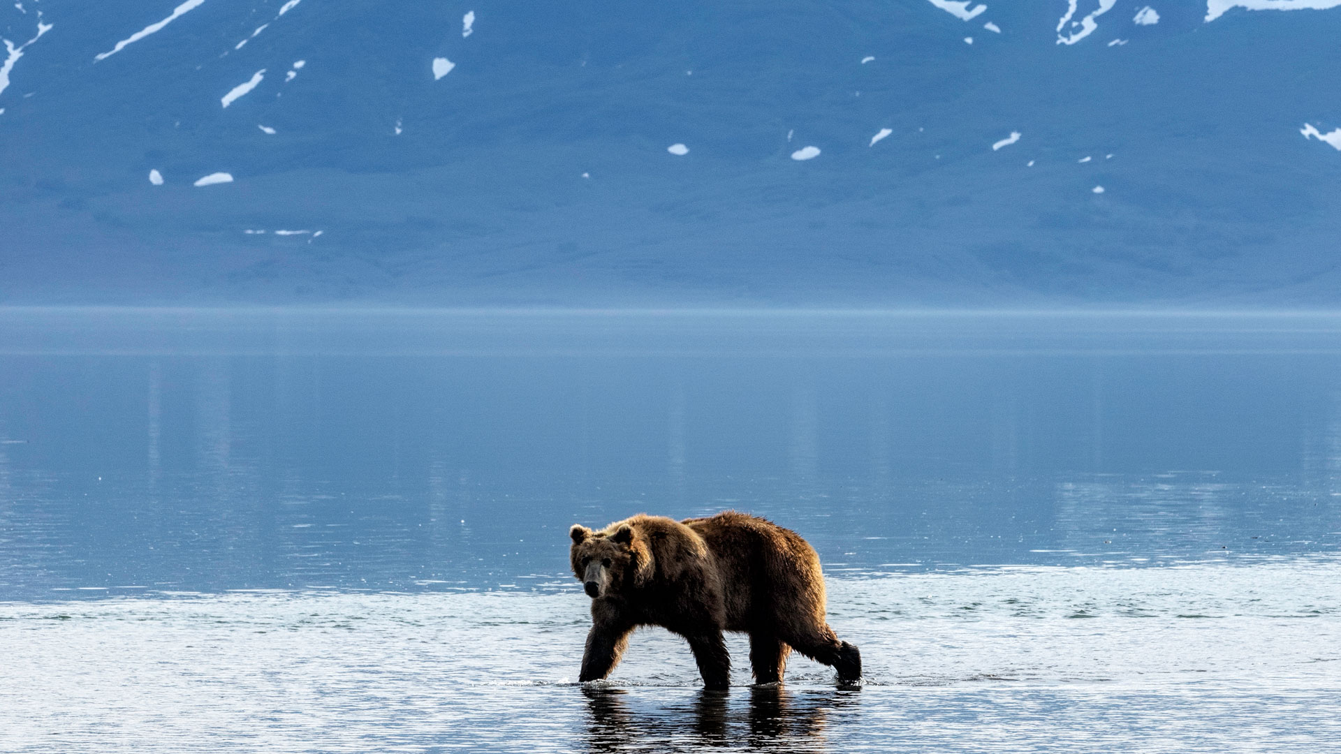 Brown bear in Kamchatka |© Andrew James