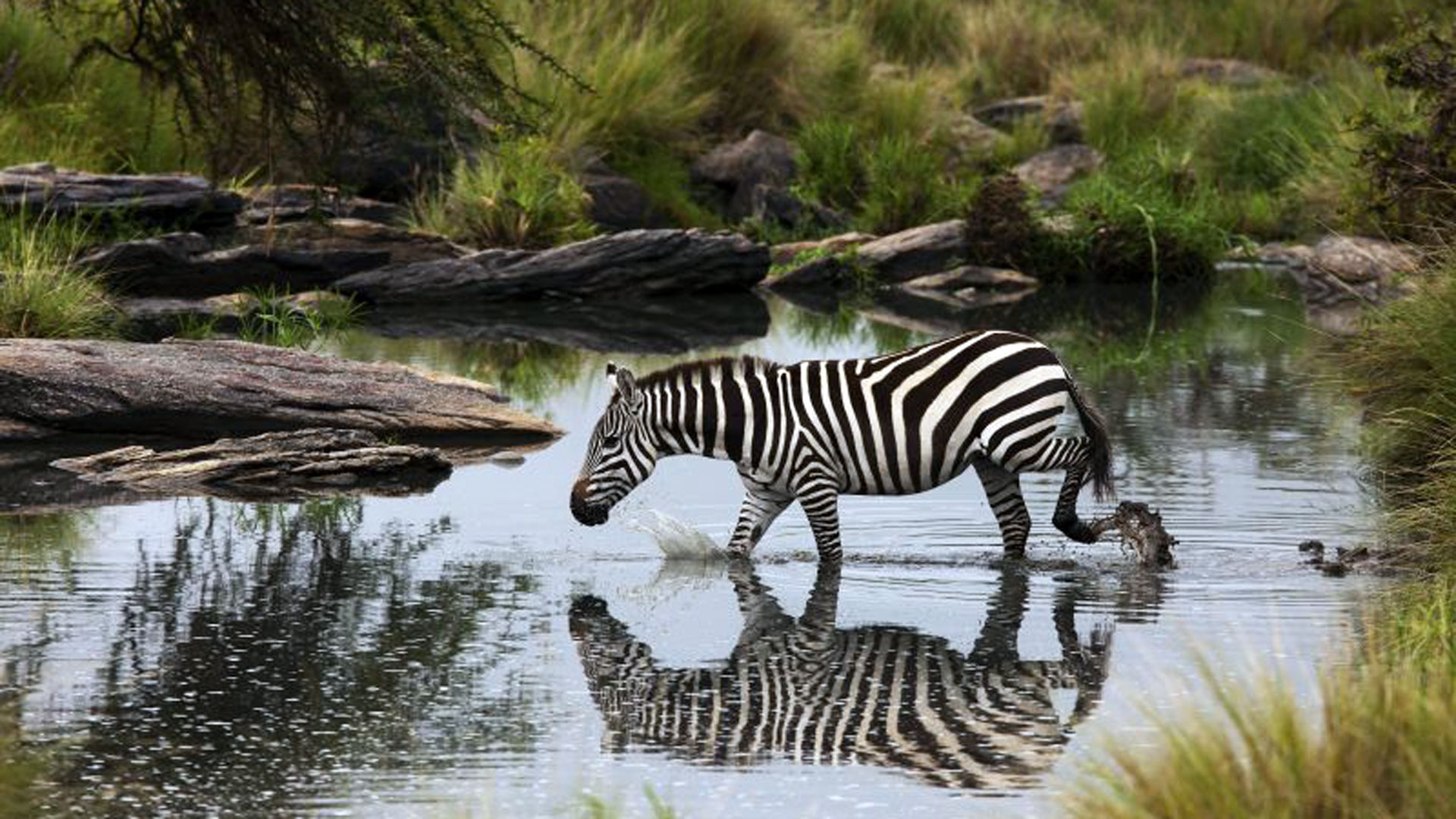 Zebra |© Great Plains Conservation