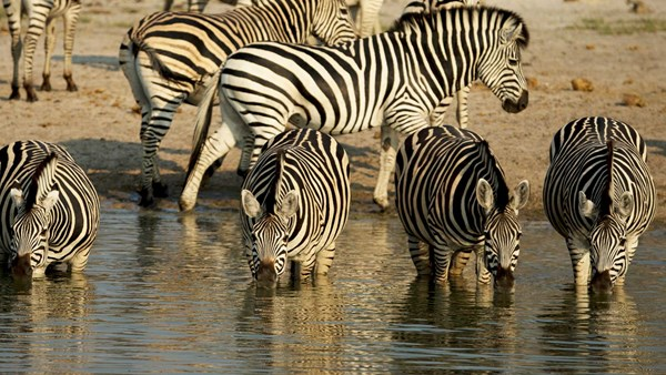 Zebras, Botswana © Sleinda Explorers Camp, Great Plains Conservation