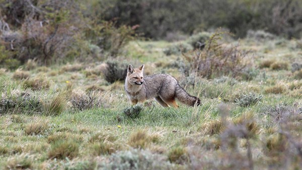 Culpeo (Andean fox), Chile | © Tristan Whitworth