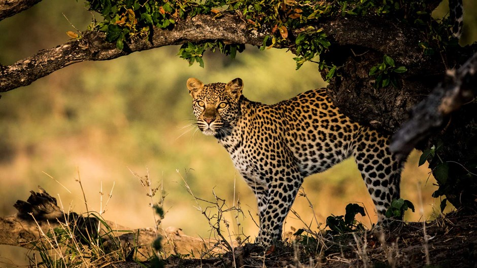 Leopard in Botswana, Little Mombo
