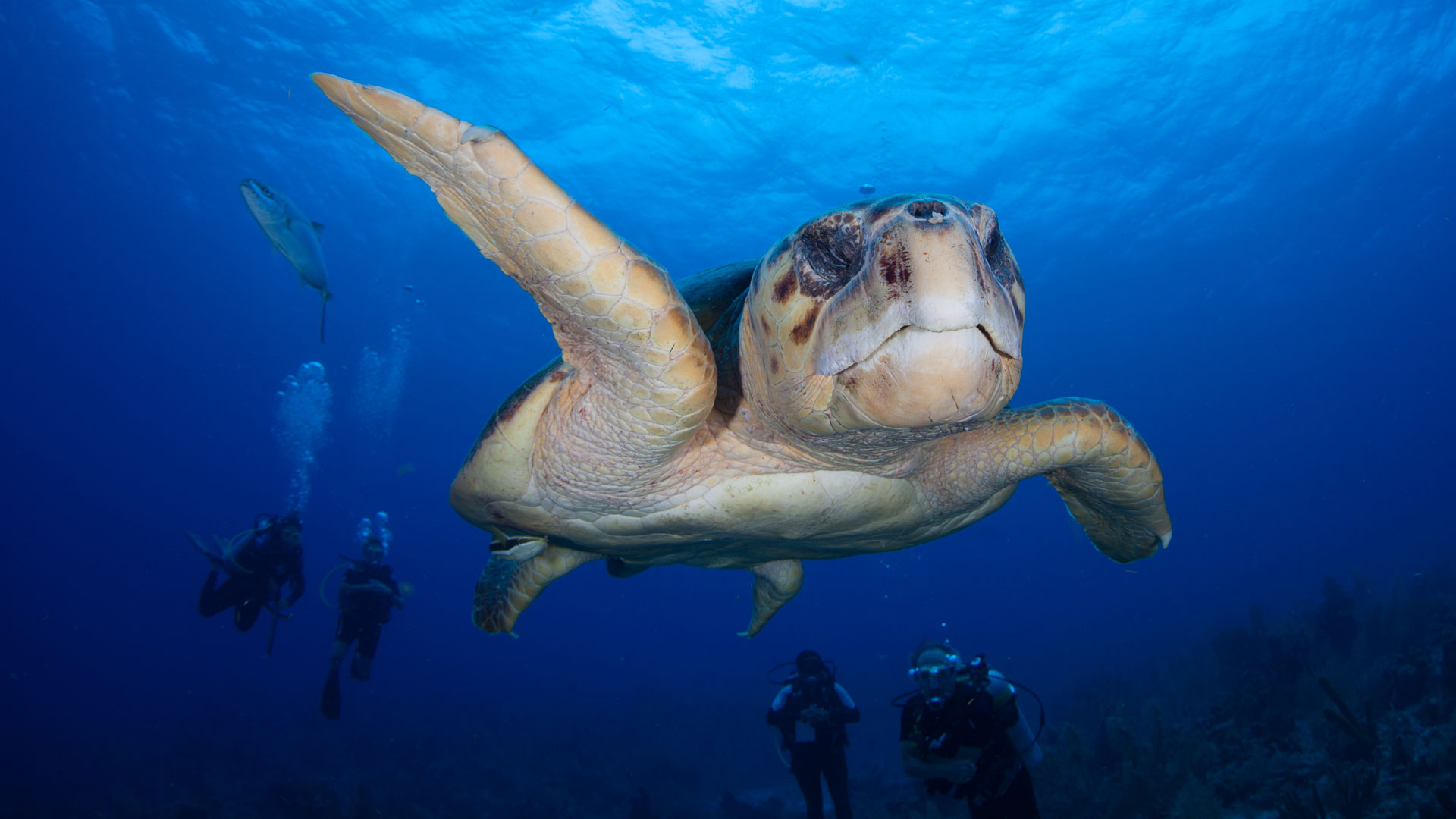 Diving with turtles, Belize
