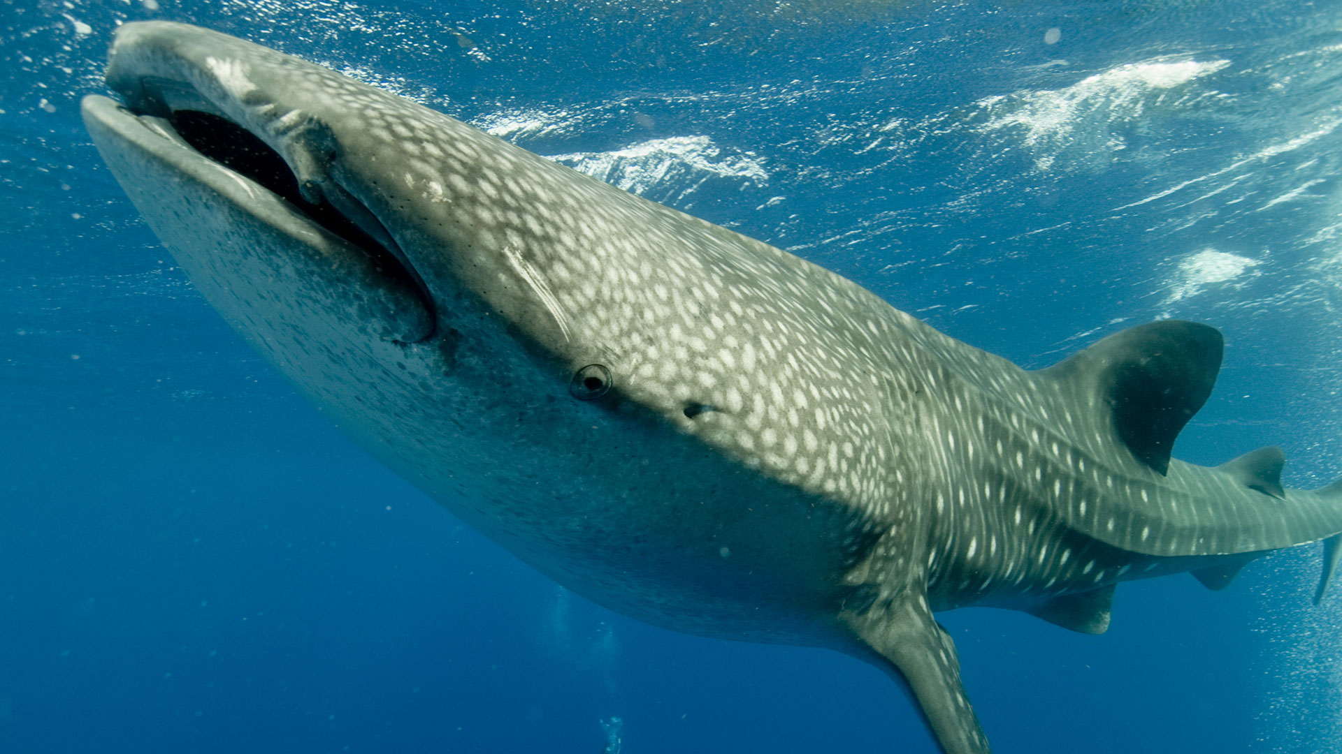 Whale shark, Belize