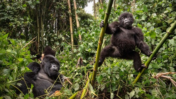 Mountain gorillas in Virunga National Park, Rwanda