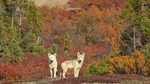 Wolves in Arctic Canada