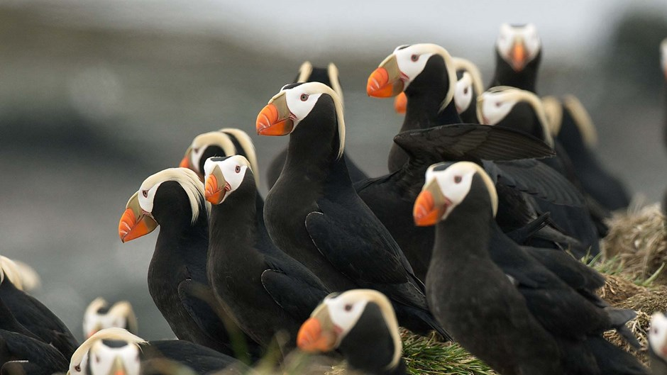 Tufted puffins, Arctic Russia