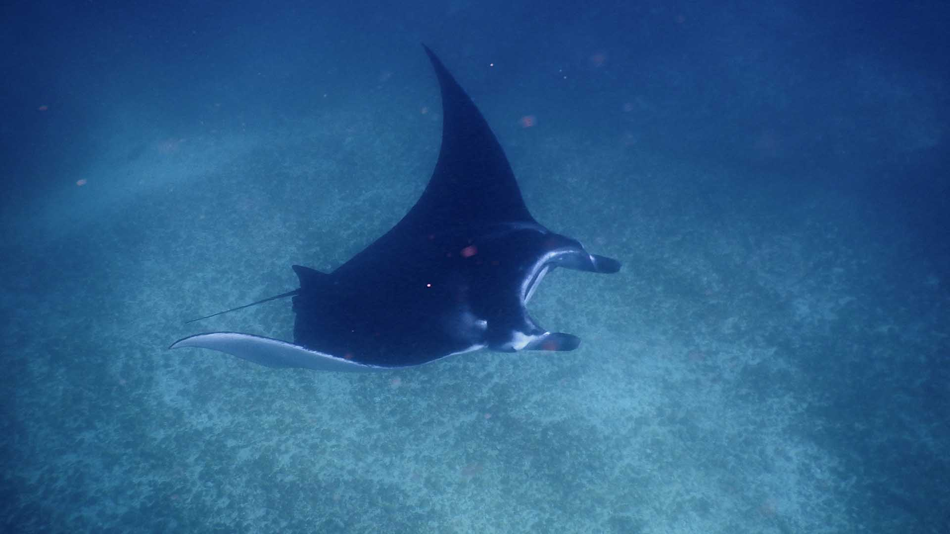Manta ray, Indonesia |© Sea Trek