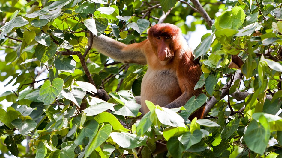 Proboscis monkey in tree, Borneo