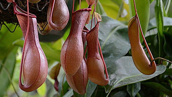 Pitcher plants, Chuck Holland, Flickr