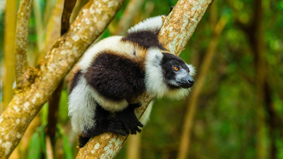 Black-and-white ruffed lemur, Madagascar | © Shannon Wild