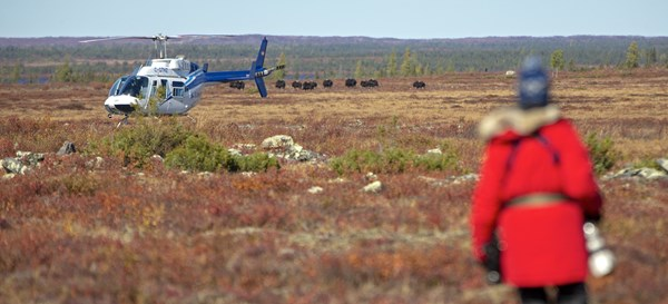 Helicopter and Musoxen, Arctic Canada| © Arctic Watch